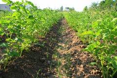 Pommes de terre dans un jardin ensoleillé Photographie stock libre de droits