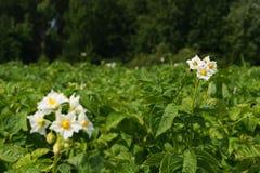 Pommes de terre de fleur Photos libres de droits