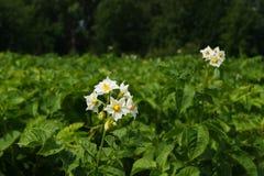 Pommes de terre de fleur Photographie stock libre de droits