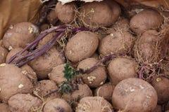 Pommes de terre de germination Photo stock