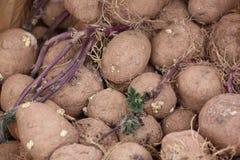 Pommes de terre de germination Photographie stock libre de droits