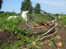 Pommes de terre 2 de récolte Photo libre de droits