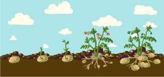 Pommes de terre de vecteur Images libres de droits