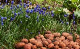 Pommes de terre et fleurs fraîches crues dans le jardin Images libres de droits