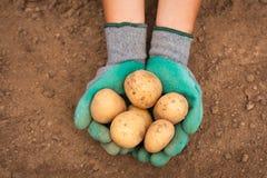 Pommes de terre femelles de prise de main sur le fond de la terre sur le champ photo libre de droits