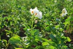 Pommes de terre fleurissantes Images libres de droits
