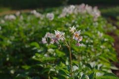 Pommes de terre fleurissantes sur le champ photographie stock