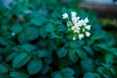 Pommes de terre de fleurs blanches photos stock