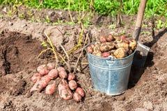 Pommes de terre fraîchement creusées dans le seau et la pelle en métal Images stock