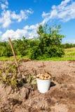 Pommes de terre fraîchement creusées dans le seau et la pelle en métal au légume Photographie stock libre de droits