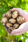 Pommes de terre fraîches image stock