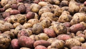 Pommes de terre fraîches crues non lavées - fond de nourriture Photo libre de droits