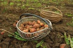 Pommes de terre frais creusées dans un panier Photo stock