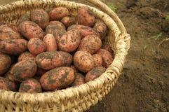 Pommes de terre frais creusées dans un panier Photos libres de droits