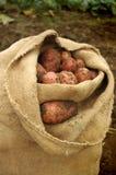 Pommes de terre frais creusées dans un sac de toile de jute Image stock