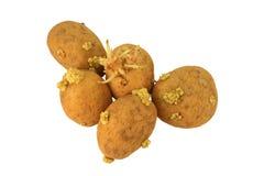 Pommes de terre poussées Images libres de droits