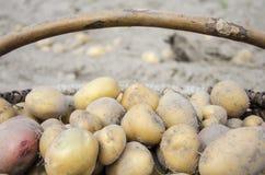 Pommes de terre de primeurs rassemblées dans un cercueil Photos libres de droits