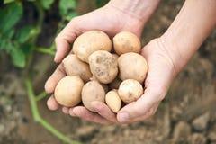 Pommes de terre récemment récoltées Photographie stock libre de droits