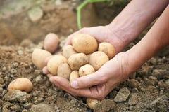 Pommes de terre récemment récoltées Photo stock