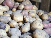 Pommes de terre rassemblées en sous-sol après moisson Images stock