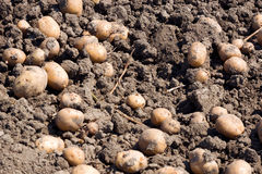 Pommes de terre sur le bon sol Photographie stock