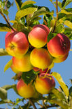 Pommes Delicious brillantes Photographie stock