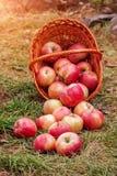 Pommes dispersées du panier Images libres de droits