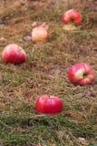 Pommes dispersées sur l'herbe défraîchie Photographie stock