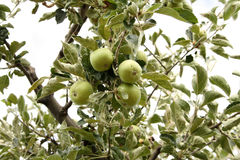 Pommes en juillet Images libres de droits