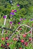 Pommes et gloires de matin Images libres de droits