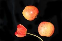 Pommes et tulipe sur un plan rapproché noir de fond, foyer sélectif images stock