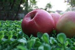 pommes fermé aux pommes sur le fond vert Images stock