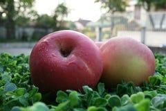 pommes fermé aux pommes sur le fond vert Photo libre de droits