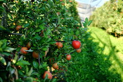 Pommes fraîches Images stock