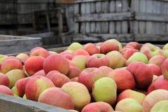 Pommes fraîches dans de vieilles caisses en bois Photographie stock