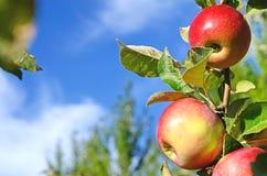 Pommes fraîches de belle couleur se tenant sur une branche de l'arbre dedans Photo libre de droits