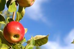 Pommes fraîches de belle couleur se tenant sur une branche de l'arbre dedans Photos stock