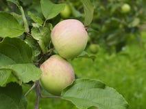 Pommes fraîches sur un arbre Images libres de droits