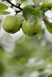 Pommes fraîches sur un arbre Photo libre de droits