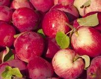 Pommes frais-sélectionnées rouge-foncé Photos libres de droits