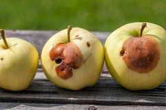 Pommes jaunes putréfiées sur la table rustique en bois de pin Photo stock