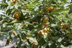 Pommes jaunes sur un arbre du paradis Photographie stock