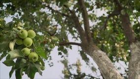 Pommes jaunes vertes m?res sur l'?levage de branche Les pommes vertes se développent sur un arbre clips vidéos