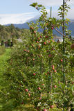 Pommes mûres Images stock