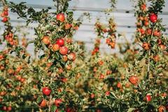 Pommes mûres dans le verger Images stock
