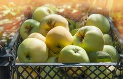 Pommes mûres dans un panier sur l'herbe Festival de récolte Rassemblez les pommes pour faire le cidre Photos stock