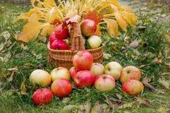 Pommes mûres dans un panier sur l'herbe Festival de récolte Rassemblez les pommes pour faire le cidre Image libre de droits