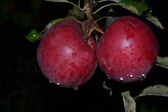 Pommes mûres et rouges avec des gouttes de pluie Photographie stock