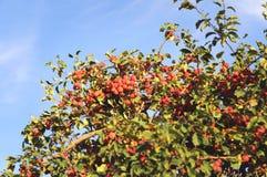 Pommes mûres Ratenki de variété image stock