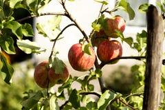 Pommes mûres rouges Photo stock